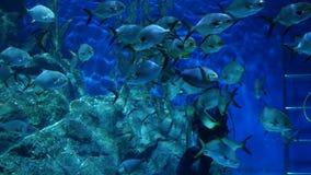 BANGKOK, THAILAND - 18 de Duiker voedende vissen van DECEMBER 2018 in aquarium Anonieme persoon met duikermateriaal het voeden stock footage
