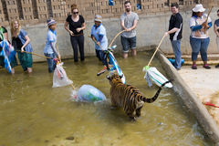 BANGKOK THAILAND - FEBRUARI 2014: Folk med tigertemplet Arkivfoton