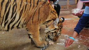 BANGKOK,THAILAND - FEBRUARY 2014: People feeding tiger by hand stock video footage