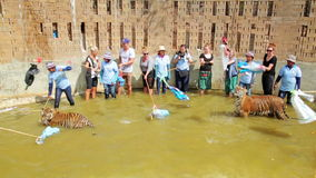 BANGKOK,THAILAND - FEBRUARY 2014: People with tiger temple stock video footage