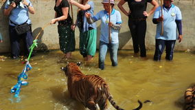 BANGKOK,THAILAND - FEBRUARY 2014: People with tiger temple stock footage