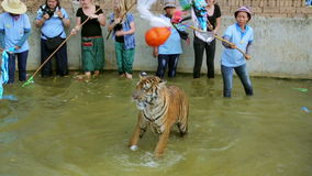 BANGKOK,THAILAND - FEBRUARY 2014: People with tiger temple stock video