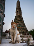 Bangkok, Thailand. Feral, wild, cat, living on the streets of Bangkok, Thailand. Temple in the background. Travel. Asia Royalty Free Stock Photography