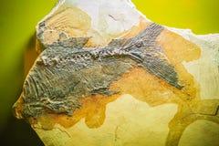 Bangkok-Thailand, am 15. Juli 2017: Das Fossil einer prähistorischen CYP Lizenzfreies Stockfoto