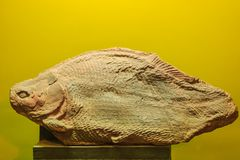 Bangkok-Thailand, July 15, 2017: The fossil of a prehistoric Her Royalty Free Stock Photos