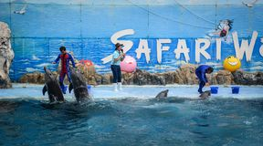 Dolphins on creative entertaining show. Bangkok, Thailand - Jun 16, 2016. A dolphin show for children at Safari World in Bangkok, Thailand. Safari World consists Royalty Free Stock Images