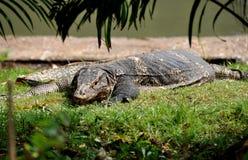 Bangkok, Thailand: Komodo Dragon in Lumphini Park Stock Photos