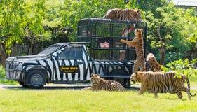 Bangkok, THAILAND - MAART 31: Het voeden van tijgers in Safari World Royalty-vrije Stock Afbeelding