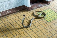 Bangkok/Thailand - Maj 11 2018: Slingra showen och visat till turister på Serpentarium, thailändskt Röda korsetsamhälle arkivbilder