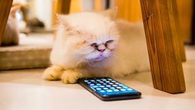 Fluffy white cat playing with smartphone Samsung S9 plus interesting and looking on screen stock photos
