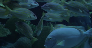 In Bangkok, Thailand at the oceanarium of Siam Ocean World seen many floating colorful tropical fish. Beautiful sea life stock video