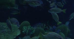In Bangkok, Thailand at the oceanarium of Siam Ocean World seen many floating tropical fish. Beautiful sea life stock video footage