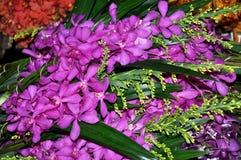 Bangkok, Thailand: Orchideeën bij de Markt van de Bloem Stock Afbeelding