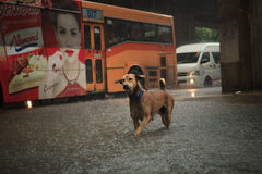 BANGKOK THAILAND - SEP14  : steet dog crossing sudden flood afte Stock Image