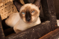 Bangkok  wild cat living in the street.  Stock Photos