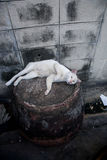 Bangkok  wild cat living in the street.  Stock Photography