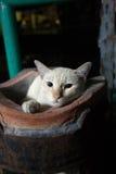 Bangkok  wild cat living in the street.  Royalty Free Stock Photo