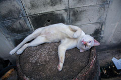 Bangkok  wild cat living in the street.  Royalty Free Stock Photography