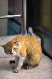 Bangkok  wild cat living in the street.  Royalty Free Stock Images
