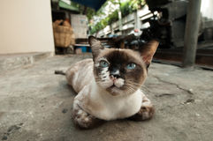 Bangkok  wild cat living in the street.  Royalty Free Stock Image