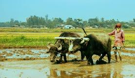 Bangladeschischer Pflugmann, der Büffelenergie für das Pflügen ihres Reisfeldes verwendet stockfotografie