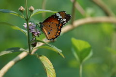 Bangladesh butterfly. The Beauty of butterfly in bangladesh Royalty Free Stock Photo