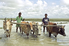 Bangladeshi farmers plowing with oxen rice field royalty free stock photography