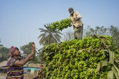 Labors are loading to pickup van on green bananas. Bangladeshi labors are stacking and loading to pickup van on green bananas for sending them to wholesale Stock Photos