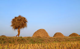 Bangladeshi people carries  newly harvested paddy Royalty Free Stock Images