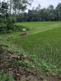 Bangladeshi village field with cow and many trees. stock images