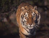 Bangle tygrysa up ogłoszenie towarzyskie i zakończenie zdjęcia royalty free