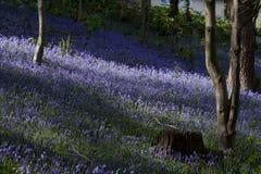 bangor bluebells Zdjęcia Royalty Free
