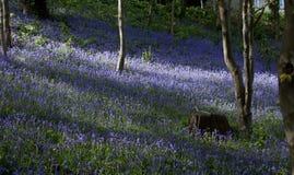 bangor bluebells Fotografia Royalty Free