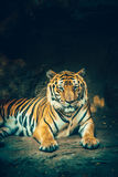 Bangor tiger. Stock Photography