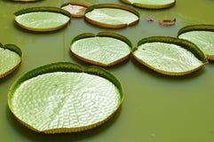 Banguecoque-Tailândia: Lírio de água de Victoria Imagens de Stock Royalty Free