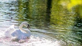 Banhando a cisne Foto de Stock Royalty Free
