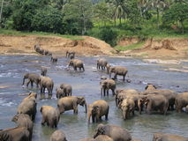 Banhando elefantes Imagem de Stock Royalty Free