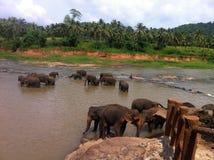 Banhando elefantes Fotografia de Stock