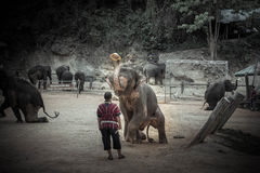 Banhando elefantes em Mae Sa Elephant Camp, Mae Rim, Chiang Mai Fotos de Stock