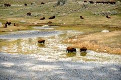 Banhando o bisonte Fotografia de Stock Royalty Free