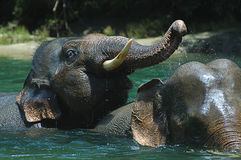 Banhando o elefante Foto de Stock Royalty Free