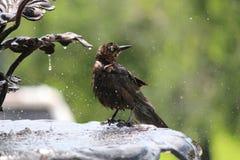 Banhando o pássaro Fotos de Stock Royalty Free