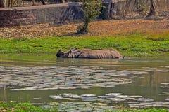 Banhando o rinoceronte Fotografia de Stock Royalty Free