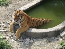 Banhando o tigre fotografia de stock