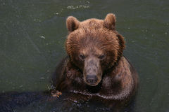 Banhando o urso de kodiak fotografia de stock royalty free
