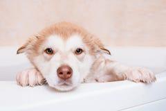 Banhando um Malamute do Alasca do cachorrinho Fotos de Stock