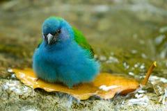 Pássaro azul que toma o banho Fotos de Stock Royalty Free
