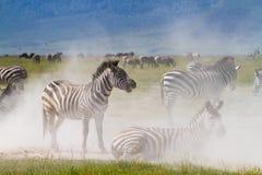 Banho da poeira da zebra Imagem de Stock