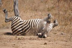 Banho da poeira da zebra de Crawshay Imagens de Stock