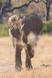 Banho da poeira do elefante Imagem de Stock Royalty Free